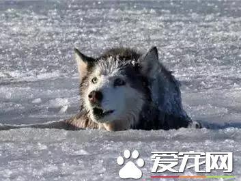 哈士奇落湖被营救 自己居然哭了